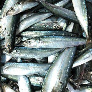 Cá nục suôn
