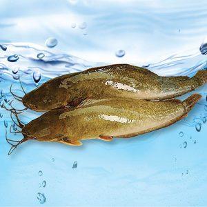 Cá trê vàng